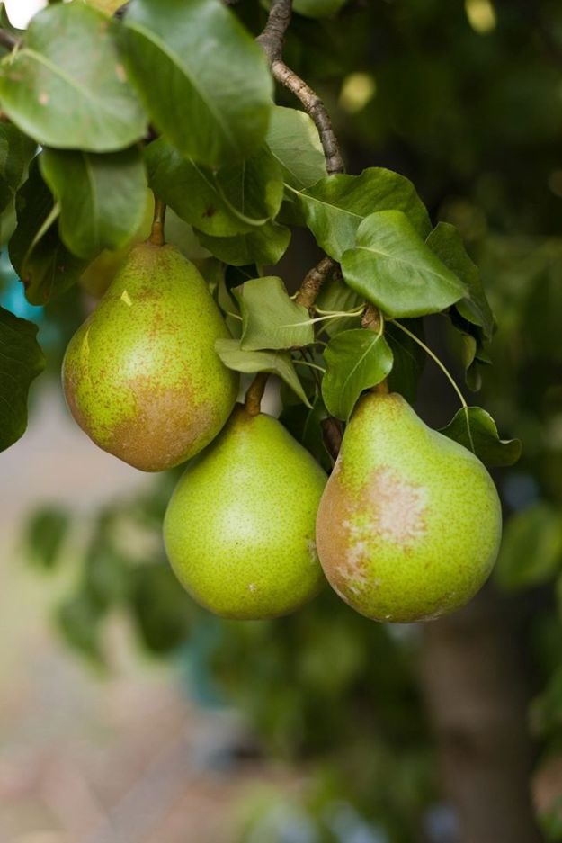 blog-3-pears