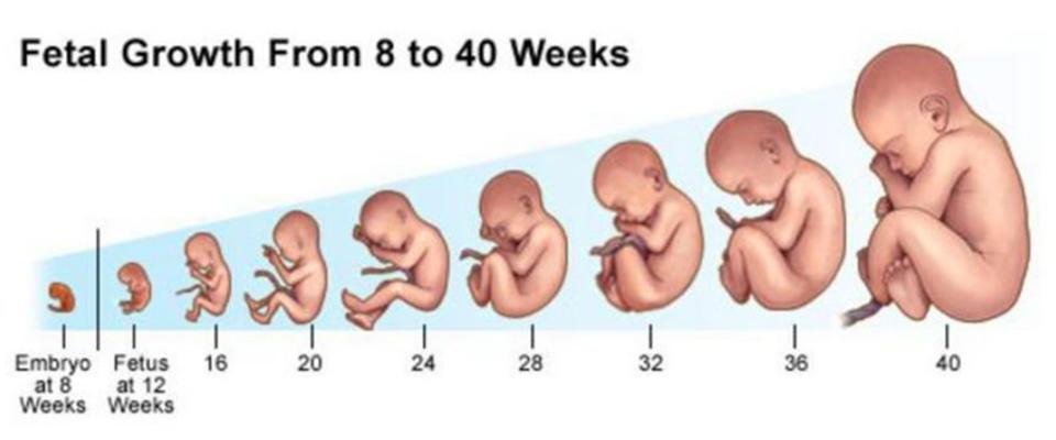 tmb blog fetal growth